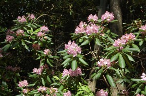 Catawba rhododendron on the Blue Ridge Pastures property.
