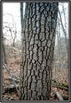 Cobbled bark on a Sourwood tree